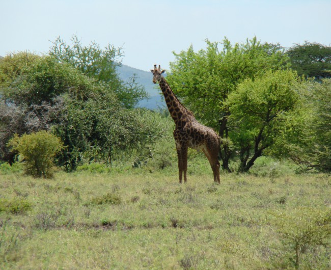 46. one of about 20 giraffes seen on the way home after seeing the last of 34 tanks